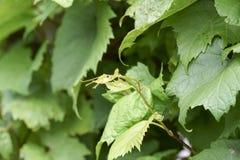 A videira no céu, com folha verde luxúria Fotografia de Stock