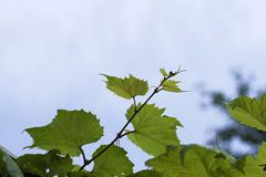 A videira no céu, com folha verde luxúria Imagens de Stock