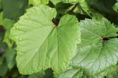 A videira no céu, com folha verde luxúria Foto de Stock Royalty Free