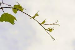 A videira no céu, com folha verde luxúria Fotos de Stock Royalty Free