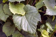 A videira no céu, com folha verde luxúria Imagem de Stock