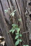 Videira no tronco de árvore inoperante fotografia de stock royalty free