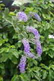 Videira roxa do azulão-americano da grinalda Imagem de Stock Royalty Free
