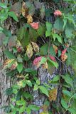 Videira selvagem que cresce no tunk da árvore Fotos de Stock Royalty Free