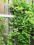 videira verde de tecelagem em uma cerca de madeira fotografia de stock