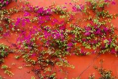Videira vermelha da parede e do bougainvillea em México fotos de stock royalty free