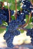 Videiras carregadas com as uvas do syrah Imagens de Stock