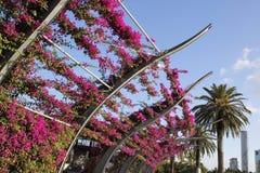 Videiras da buganvília na flor Fotos de Stock Royalty Free