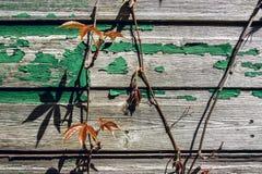 Videiras da hera com as folhas novas na parede de madeira velha na mola BRITÂNICA 1 Foto de Stock