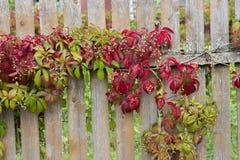 Videiras da marcha vermelha verde das uvas do jardim ao longo da cerca de madeira Uvas verdes do jardim espalhadas belamente na c imagem de stock royalty free