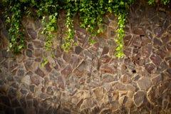 Videiras da textura da parede de pedra Fotografia de Stock Royalty Free