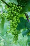 Videiras das uvas imagens de stock royalty free