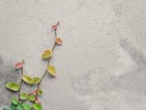 Videiras de Pumila do ficus que escalam na parede do cimento fotografia de stock