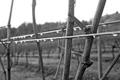 Videiras do inverno Foto de Stock