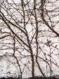Videiras do inverno contra a fotografia do fundo da parede exterior fotografia de stock