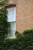 Videiras do rastejamento através da parede de tijolo e da janela velhas da casa Imagens de Stock