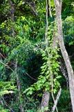 Videiras e árvores Fotografia de Stock Royalty Free
