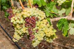 Videiras e uvas contaminadas parasita do oídio. Foto de Stock Royalty Free