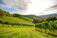 Videiras em um vinhedo no outono - uvas para vinho antes da colheita Fotografia de Stock