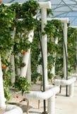 Videiras hidropònica crescidas da morango Imagens de Stock