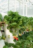 Videiras hidropònica crescidas da morango Imagens de Stock Royalty Free