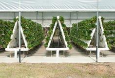Videiras hidropònica crescidas da morango Fotos de Stock Royalty Free