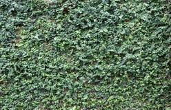 Videiras ou pumila verde do ficus na parede de tijolo velha da textura Fotografia de Stock Royalty Free