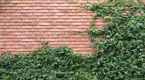 Videiras ou pumila verde do ficus na parede de tijolo velha da textura Imagem de Stock