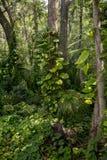 Videiras que crescem acima árvores Imagens de Stock