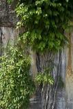 Videiras que crescem no muro de cimento foto de stock royalty free