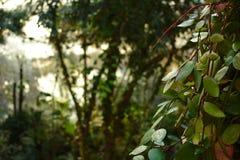 Videiras verdes com a selva no fundo imagem de stock