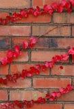 Videiras vermelhas no vertical do tijolo Foto de Stock