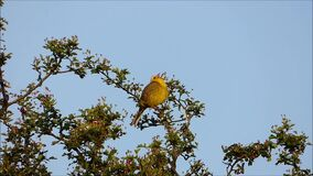 American yellow warbler sits on a tree branch. Video of American yellow warbler sits on a tree branch stock video footage