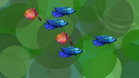 Video animation orange and blue exotic fishes in green aquatic plants in the scrubbing water, seamless loop. FullHD video 1920x1080 stock video footage