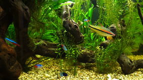 Video aquarium fish swimming in a large aquarium. Footage aquarium fish swimming in a large aquarium stock video footage