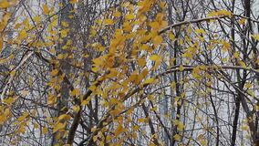 Video of an autumn birch in the wind.
