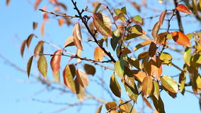Video of autumn cherry tree stock footage