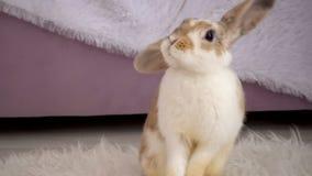 Video av den beigea kaninen i studio lager videofilmer
