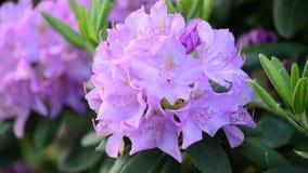Video av det ljusa rhododendronslutet upp, nya blommor f?r v?r stock video