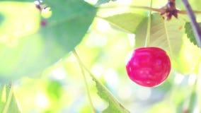Video av en av mogna körsbär i trädgården stock video