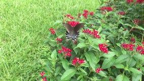 Video av en sökande nektar för Spicebush Swallowtail fjäril arkivfilmer
