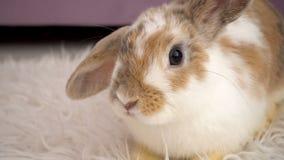 Video av fluffig beige kanin arkivfilmer