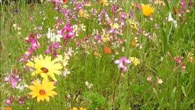 Meadow field daisies flowers plants swaying gently in summer breeze wind. Video of beautiful pretty summer daisies flowers multi colours swaying gently in breeze stock video footage
