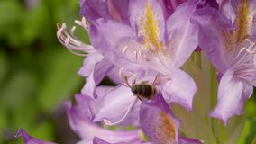 Bee as it gathers nectar from a rhododendron. Video of bee as it gathers nectar from a rhododendron stock video footage