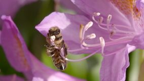 Bee attempting to collect nectar from a pink flower. Video of bee attempting to collect nectar from a pink flower stock video footage