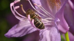 Bee on a pink flower collecting nectar. Video of bee on a pink flower collecting nectar stock video footage