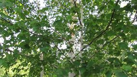 Birch tree foliage summer nature. Video of birch tree foliage summer nature stock footage
