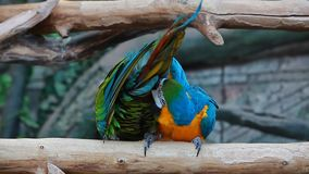 Video birds colorful two funny Parrots Ara stock video