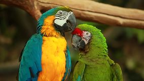 Video birds colorful two funny Parrots Ara stock video footage