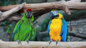Video birds colorful two funny Parrots Ara stock footage